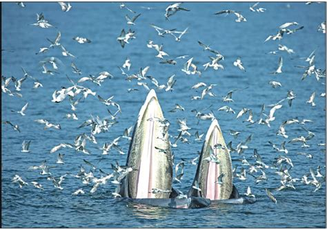 a female bryde s whale and her calf feed on anchovies in