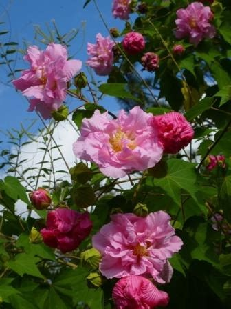 Double Pink Confederate Rose, Cotton Rose Mallow,Hibiscus